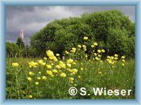 Swamp with globe-flowers